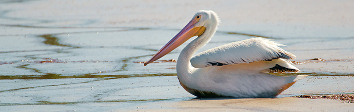 White pelican on a mud flat